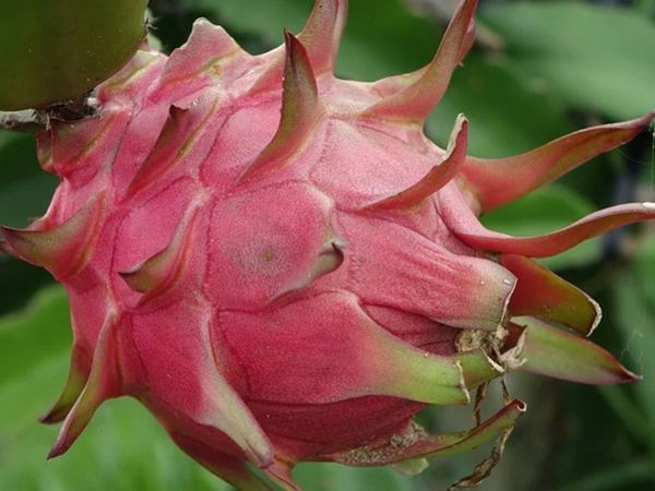 Dragon Fruits gets a name change in Gujarat, to be called 'Kamalam'